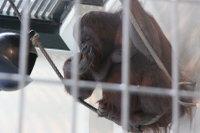 Orangutan35