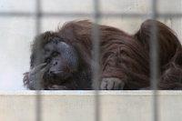 Orangutan36