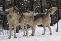 Wolves_m12