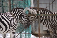 Zebra55