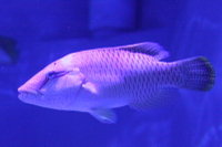 Napolonfish04