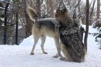 Wolves_m13
