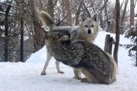 Wolves_m15