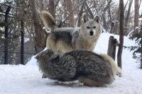 Wolves_m16
