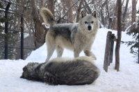Wolves_m17