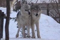 Wolves_m18