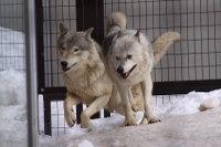 Wolves_m19