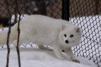 Arctic_fox43