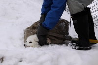 Arctic_fox44