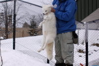 Arctic_fox45