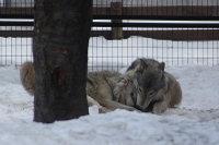 Wolves_m20