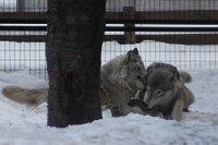 Wolves_m21
