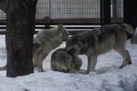 Wolves_m22