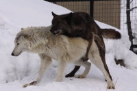 Wolves24