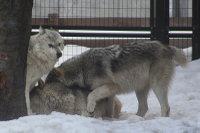 Wolves_m23