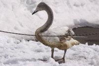 Swan17