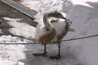 Swan18