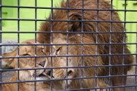 Lions_k07