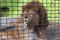 Lions_k08