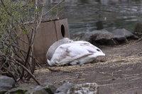 Swan20