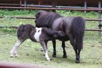 Miniaturehorse03