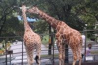 Giraffes51