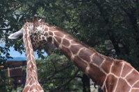 Giraffes52