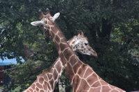 Giraffes53