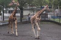 Giraffes54