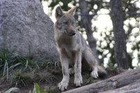Wolf15