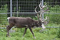 Caribou50