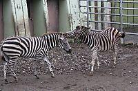 Zebra56