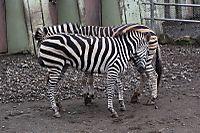 Zebra57