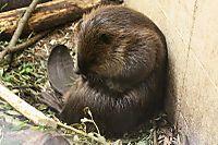 Beaver30