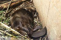Beaver31