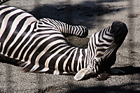 Zebra59
