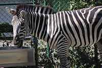 Zebra60