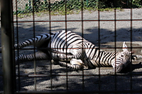 Zebra62