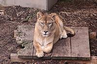 Lion03