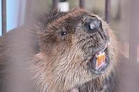 Beaver33