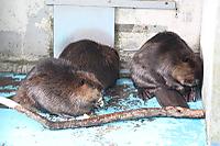 Beaver34
