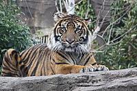Tiger_y01