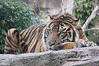 Tiger_y02