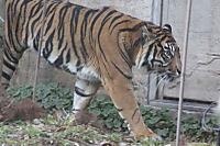 Tiger_y03