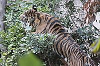 Tiger_y04