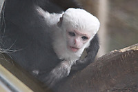 Abyssiniancolobus03