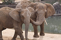 African_elephant06