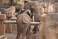 African_elephant07