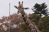 Giraffe_y01