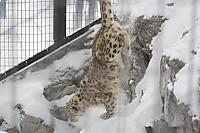 Snowleopard30